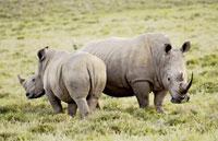 »Big Five Safari - Erlebnisreiche Kenia Safari«