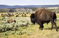 »Im Reich der Büffel und Cowboys - Reise USA Mietwagen«