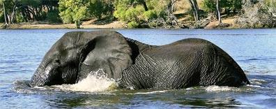 »Abenteuer Südliches Afrika: Elefant im Okavangodelta«