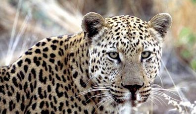 » Expedition Kapstadt - Namibia - Victoria Falls: Leopard «