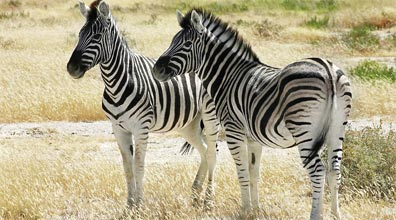 »Facettenreiches Namibia: Zebras im Etosha Nationalpark«