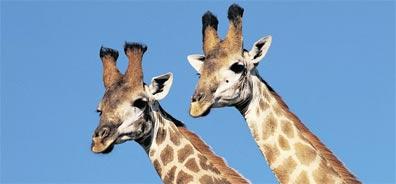 »Abenteuer Südliches Afrika: Giraffen«