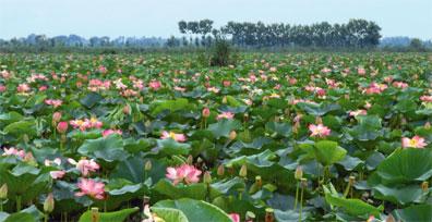 »Nordpersien: Lotusfeld in der nordiranischen Provinz Gilan«