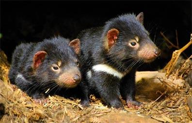 »Naturwunder Tasmanien: Junge Tasmanische Teufel«