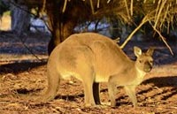 »Australien Rundreise Känguru-Hüpfer«