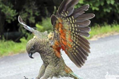 »Kea im Fjordland Nationalpark - Wandern in Neuseeland«
