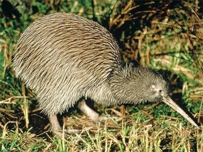 »Neuseeland zum Kennenlernen: Der Kiwi«