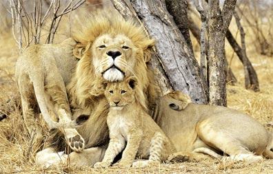 »Südafrika für Einsteiger: Löwen im Kruger Nationalpark«
