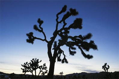 » Mythos des Westens: Joshua Tree Nationalpark «
