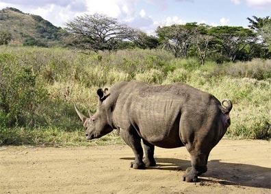 »Best of South Africa: Nashorn bei Hluhluwe«