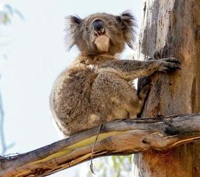 »Naturwunder Australiens: Koalas beobachten«