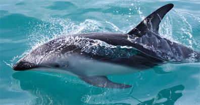 »Delfin in Neuseeland - Gruppenreise durch Neuseeland«