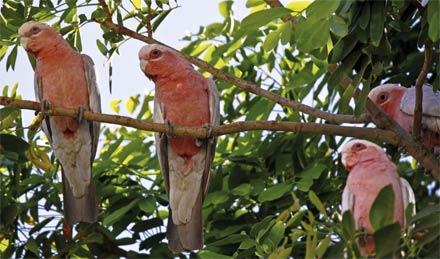 »Reise durch Westaustralien: Rosella-Papageien«
