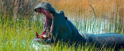 »Hippo Botswana - 15 Tage Intensiv-Reise Botswana«