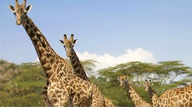»Rundreisen Südafrika: Giraffen im Krüger-Nationalpark«