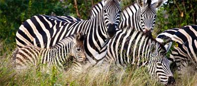 »Südafrika aktiv erleben: Safari im Krüger-Nationalpark«