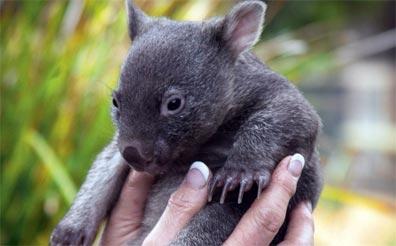 »Tasmanien für Genießer: Wombat«