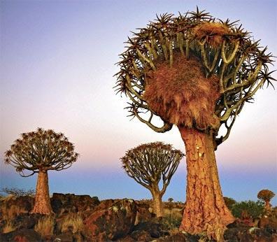 »Traumhafte Studienreise Namibia: Köcherbäume«