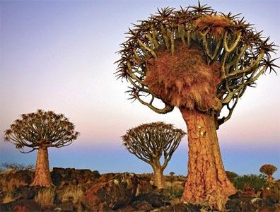 »Traumreise Namibia: Köcherbäume«
