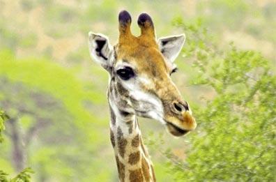 »Reise nach Südafrika - Vom Krügerpark zum Tafelberg«