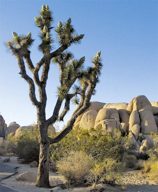 » Western Triangle: Reise zum Joshua Tree Nationalpark «