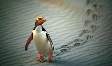 »Neuseelands artenreiche Tierwelt: Yellow Eyed Pinguin«