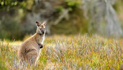 »Wallaby Australienreise - Akzente Australiens«