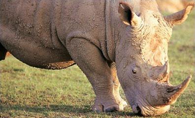 »Auf der Suche nach den Big Five: Nashorn entdecken«