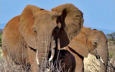 »Auf der Suche nach den Big Five Elefanten beobachten«