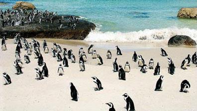 »Boulder's Beach, Simons Town - Höhepunkte um Kapstadt«
