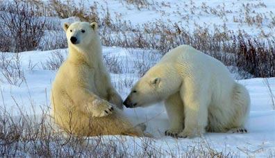 »Eisbären an der Hudson Bay«