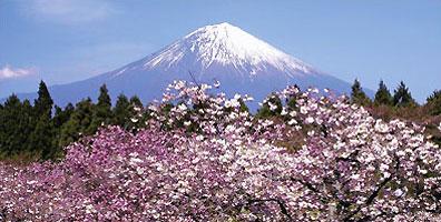 »Heiliger Berg Fuji-san mit Kirschblüte - Faszination Japan«