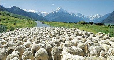 »Schafherde in Neuseeland - Wandern in Neuseeland«