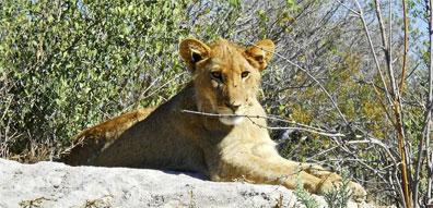»Botswana & Caprivi: Löwe in der Greater Kwhai Region«