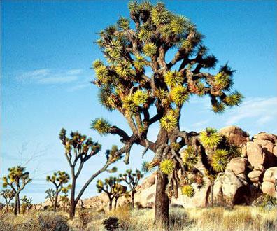 »Joshua Tree Nationalpark - Der Amerikanische Westen«