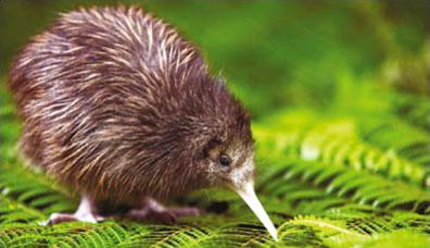 »Kiwi Vogel Neuseeland - Zu Gast bei Kiwis und Koalas«