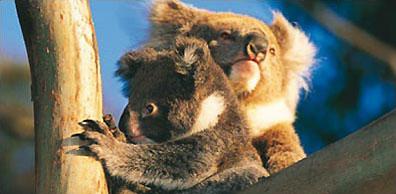 »Koalas Eukalyptusbäume - Zu Gast bei Kiwis und Koalas«