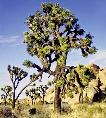 » USA Mietwagenreise Great West: Joshua Tree Nationalpark «