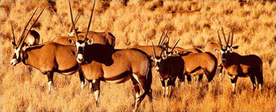 »Oryxantilopen, Springböcke, Kudus, Bergzebras und Giraffen«