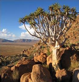 »Köcherbaum Namibia - Wo die Natur unendlich ist«