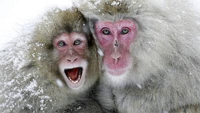 »Zauberhaftes Japan: Makaken-Affen baden in heißen Quellen«