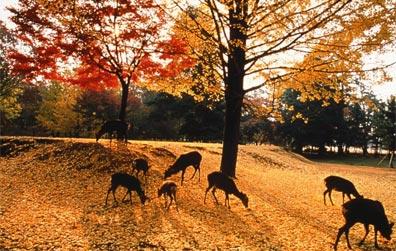 »Zauberhaftes Japan - Herbststimmung im Nara-Park«