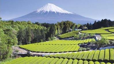 »Zauberhaftes Japan - Teeplantagen am Fuß des Fuji«