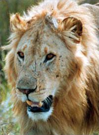 »Big Five Safari Kenia: Löwe«
