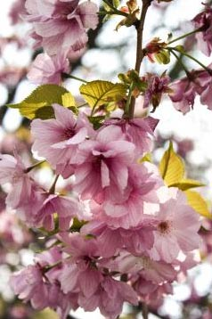 »Kirschblüte in Japan - Farbenprächtiges Japan«