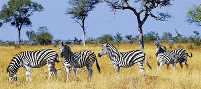 »Südafrika - Reiches Land am Kap: Zebras Krüger Nationalpark«
