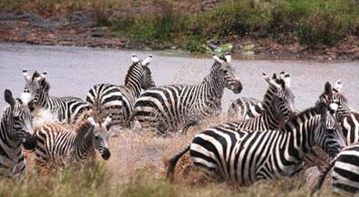 »Namibia Rundreise - Zebras im Etosha Nationalpark«