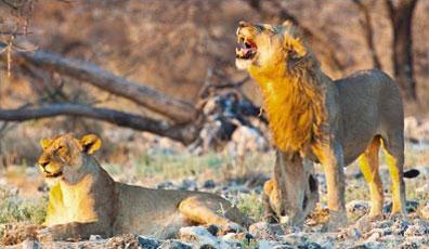 »Löwen Etosha Nationalpark - Namibias Nationalparks Reise«