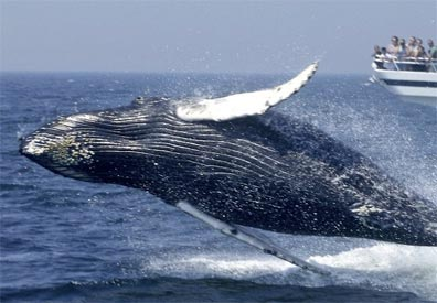 » Best of New England Reise: Whale Watching (fakultativ) «