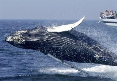 »Best of New England Reise: Whale Watching (fakultativ)«